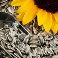 High Quality Sunflower Seeds Kernels