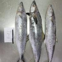 Spotted Spanish Mackerel